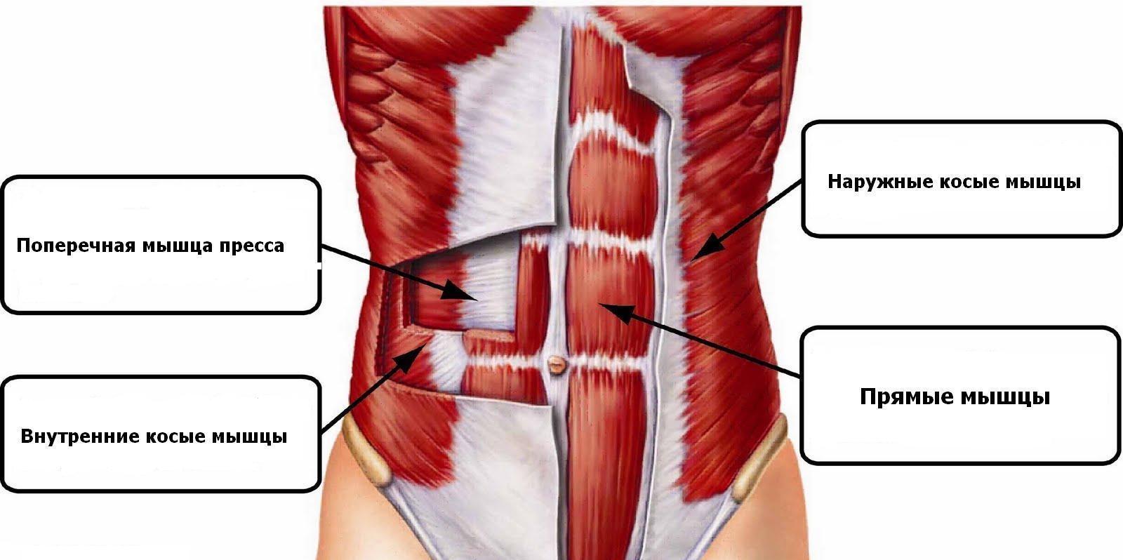 Анатомия мышц пресса: наружные косые, внутренние косые, поперечная мышца и прямые мышцы