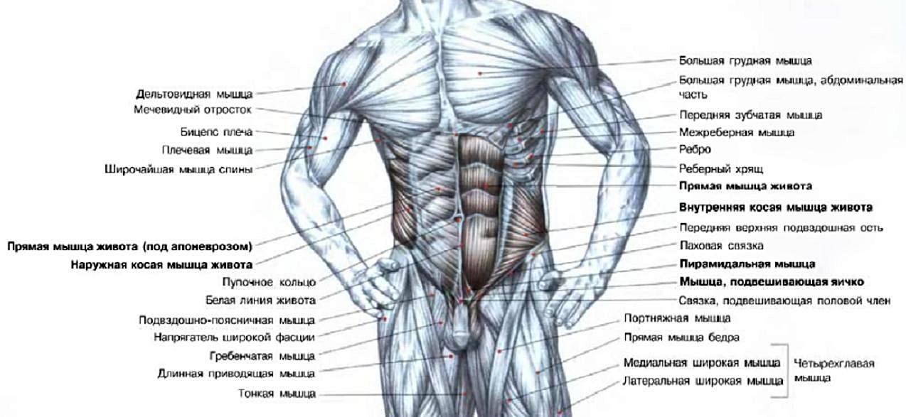 Строение мышц пресса, рук, бедер и груди