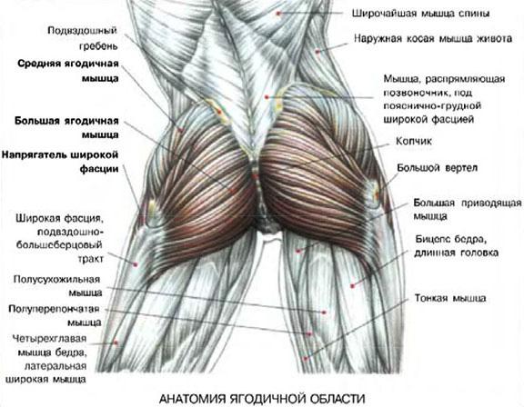 anatomiya-myshc-yagodic