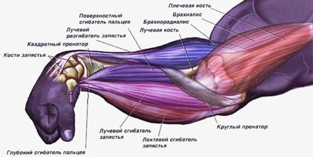 myshcy-predplechya