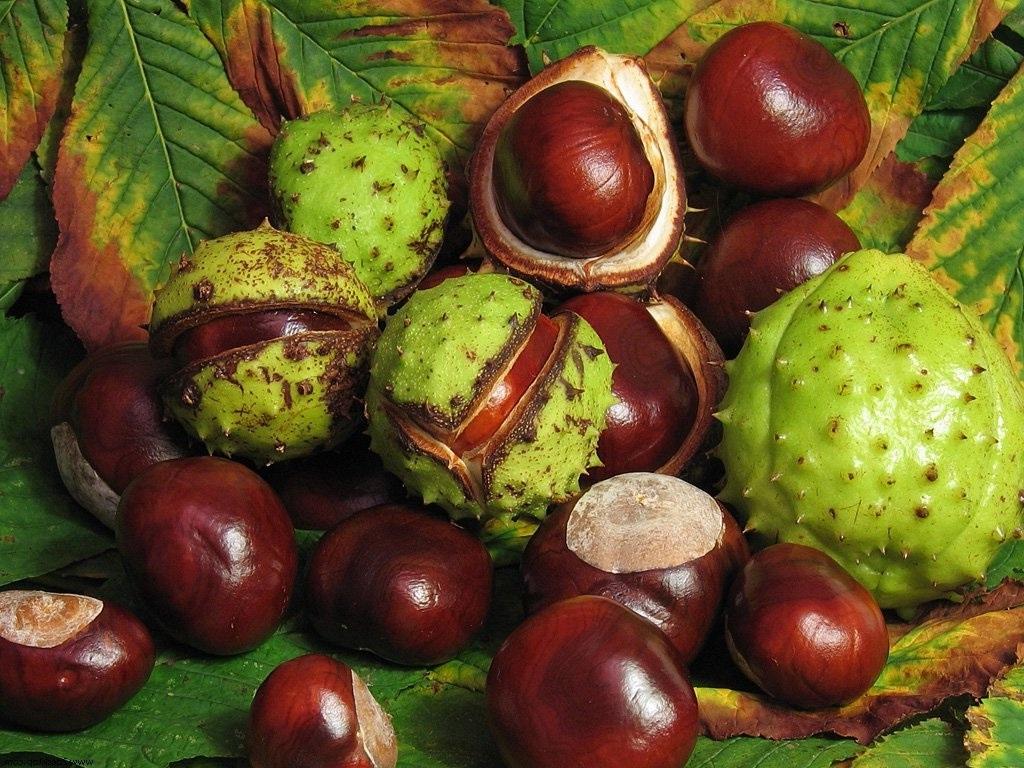 plody-konskogo-kashtana