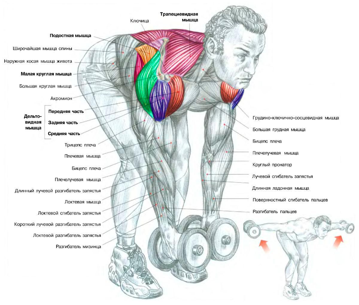 anatomiya-deltovidnyh-myshc