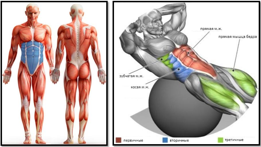 Работа мышц при скручивании