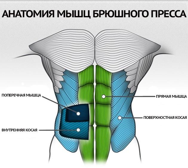 Анатомия брюшного пресса