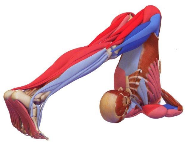 Работа мышц при халасане - вид спереди