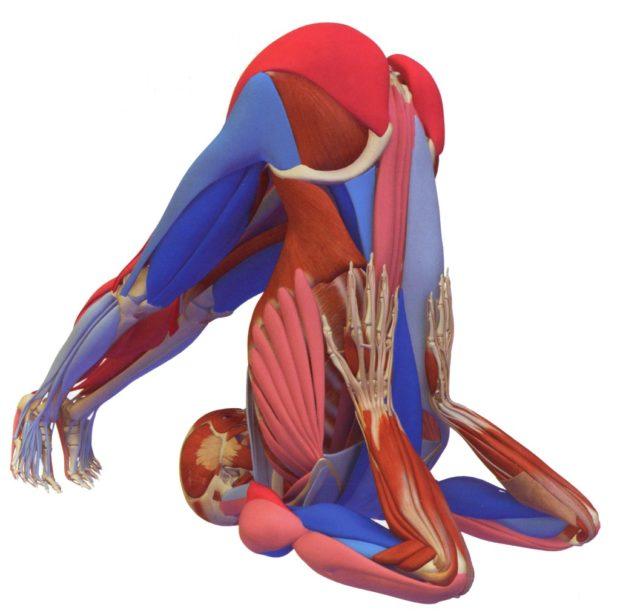 Работа мышц при халасане, вид сзади
