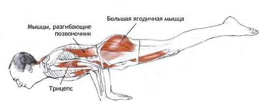 Работа мышц в позе павлина