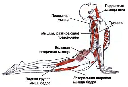 Урдхва Мукха Шванасана - работа мышц