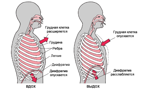 Техника дыхания - основа провильного выполнения асан