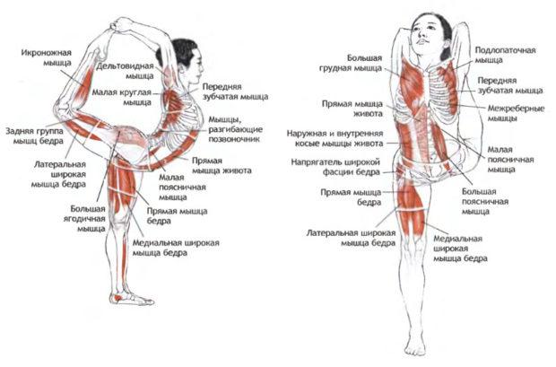 Работа мышц в асанах на растяжку