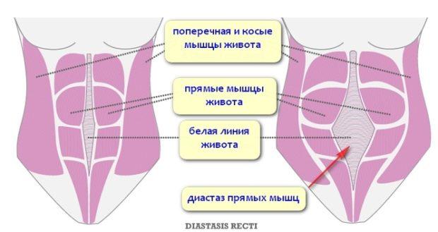 Мышцы живота - строение