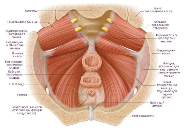 Мышцы тазового дна человека