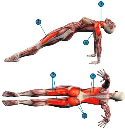 Пурвоттанасана - работа мышц