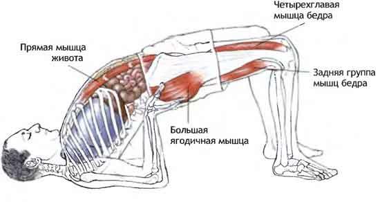 Сету Бандхасана - работа мышц