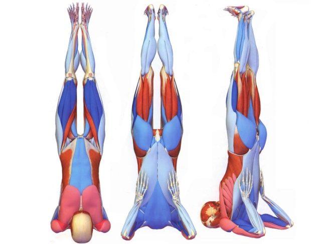 Мышцы в березке