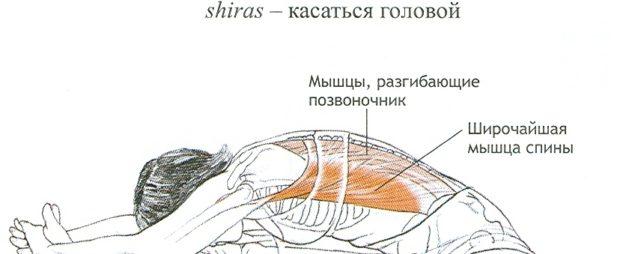 Асана Джану Ширшасана - работа мышц