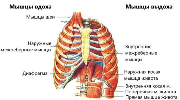 Работа мышц на вдохе и выдохе