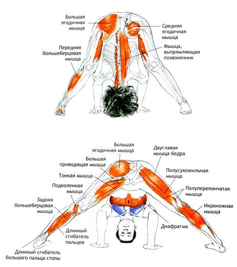 Работа мышц в Прасарита Падоттанасана