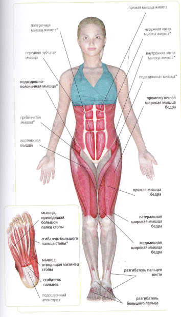 Задействование мышц в тадасане
