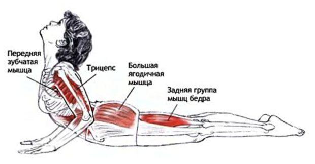 Работы мышц в бхуджагасане