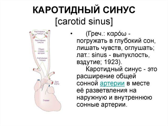 Каротидный синус